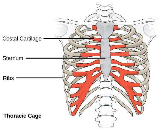 胸骨位在乳溝位置的正下方,它的寬度會影響乳房的集中度